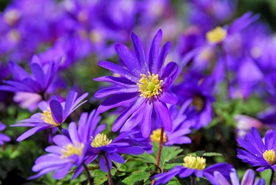 Anemone blanda Blue Shades (Winter windflower)