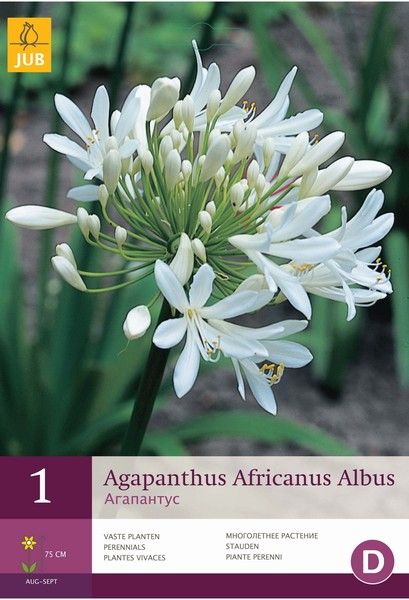 Agapanthus africanus Albus / White African Lily