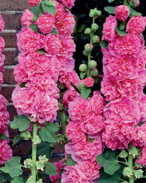 Alcea rosea Chater's Double Rosa / Hollyhock