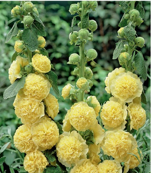 Alcea rosea Chater's Double Yellow/ Hollyhock