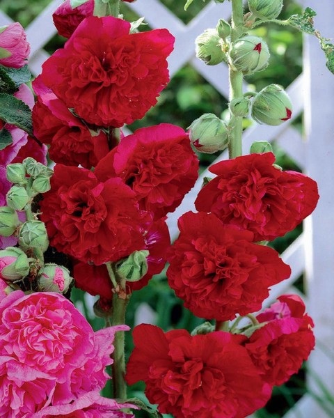 Alcea rosea Double Red / Hollyhock