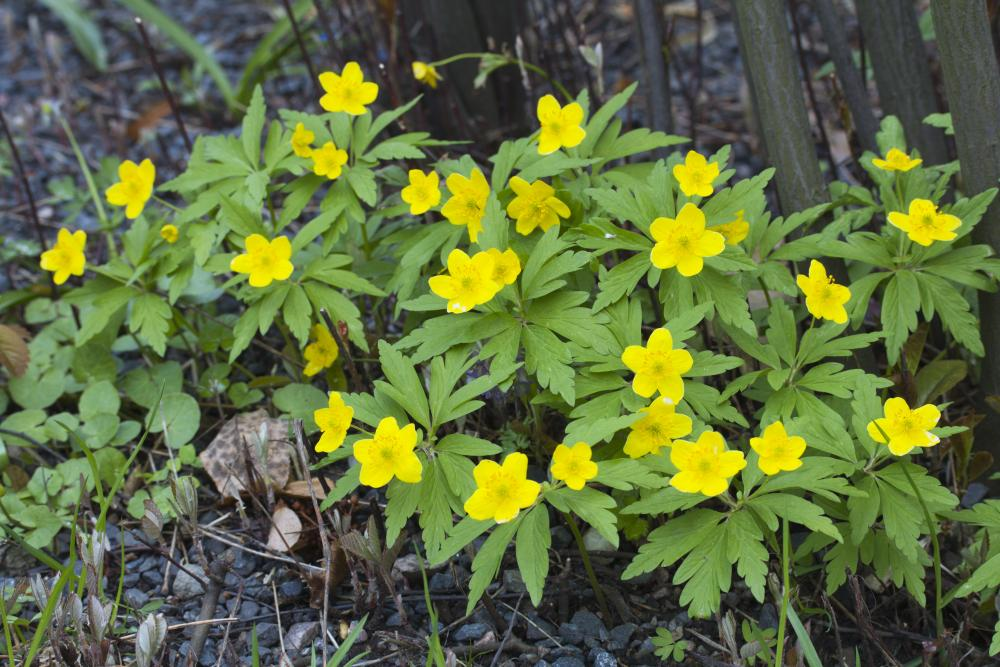 Anemone ranunculoides (Wood ginger)   NEW!!!