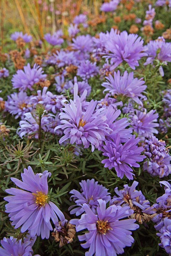 Bushy Aster, Aster dumosus Lady in Blue