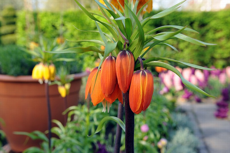 Fritillaria imperialis Aurora (Crown Imperial Lily)