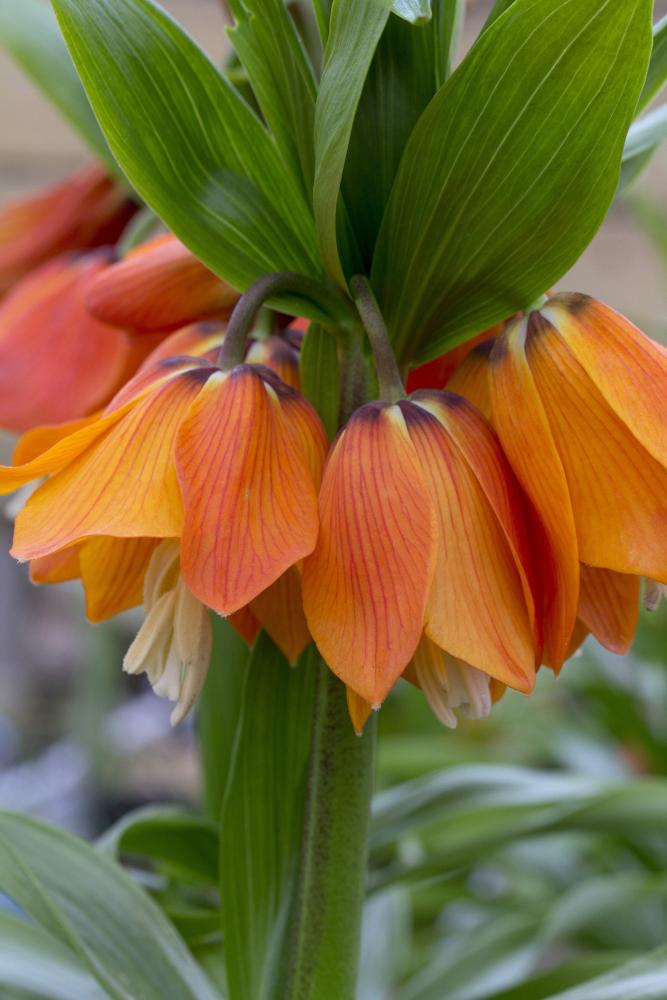Fritillaria imperialis Garland Star (Crown Imperial) NEW!!!