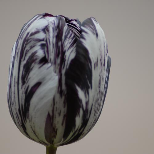 Tulip Black and White   NEW!!!