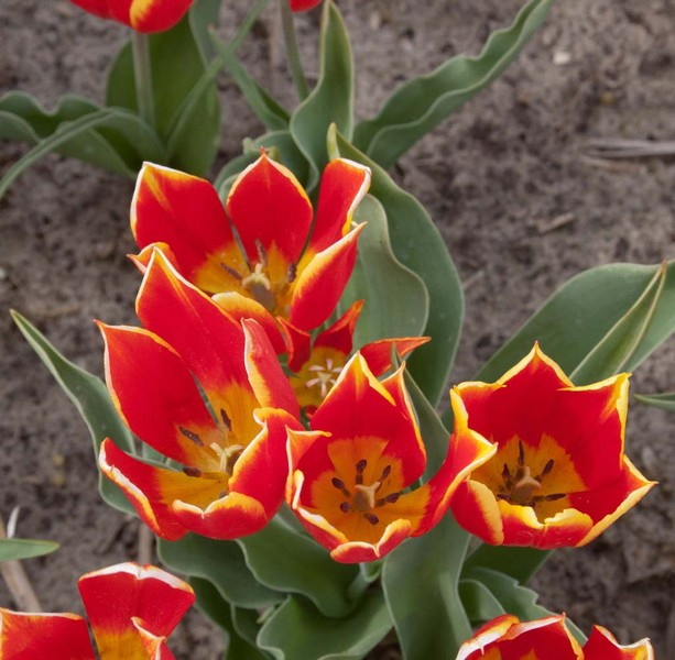 Tulip Duc van Tol Red & Yellow