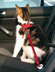 Bilsele Katt Röd 20-50 cm