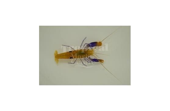 """Alpheus soror """"Bullseye Snapping Shrimp"""""""