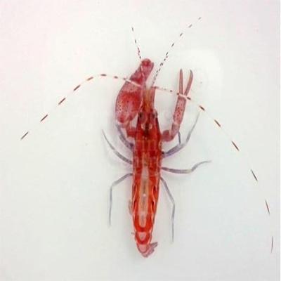 "Alpheus armatus ""Carribean Scarlet Pistol Shrimp"""