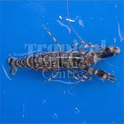 "Alpheus bellulus ""Tiger Shrimp"""