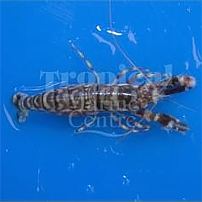 "Alpheus bellulus ""Tiger Shrimp"""