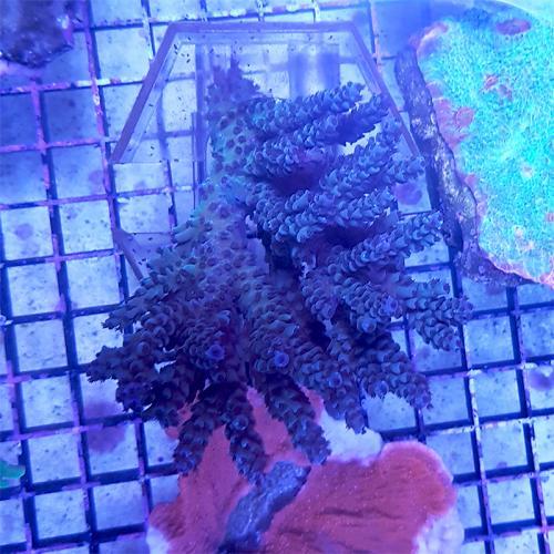 "Acropora tenius ""Blue Aussie"" WYSIWYG"