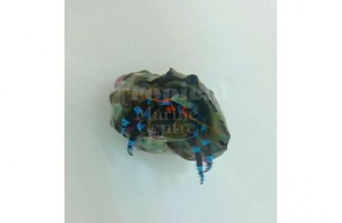 "Calcinus elegans ""Blue Hermit Crab"" 3 pack"