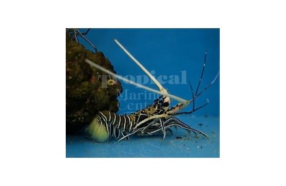 """Panulirius versicolor """"Blue Lobster"""""""
