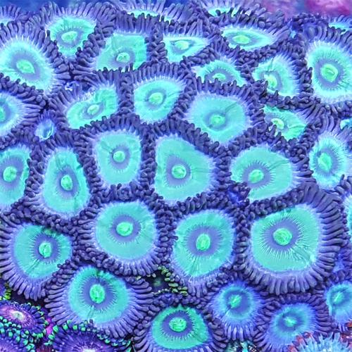 Blue Panama Zoa