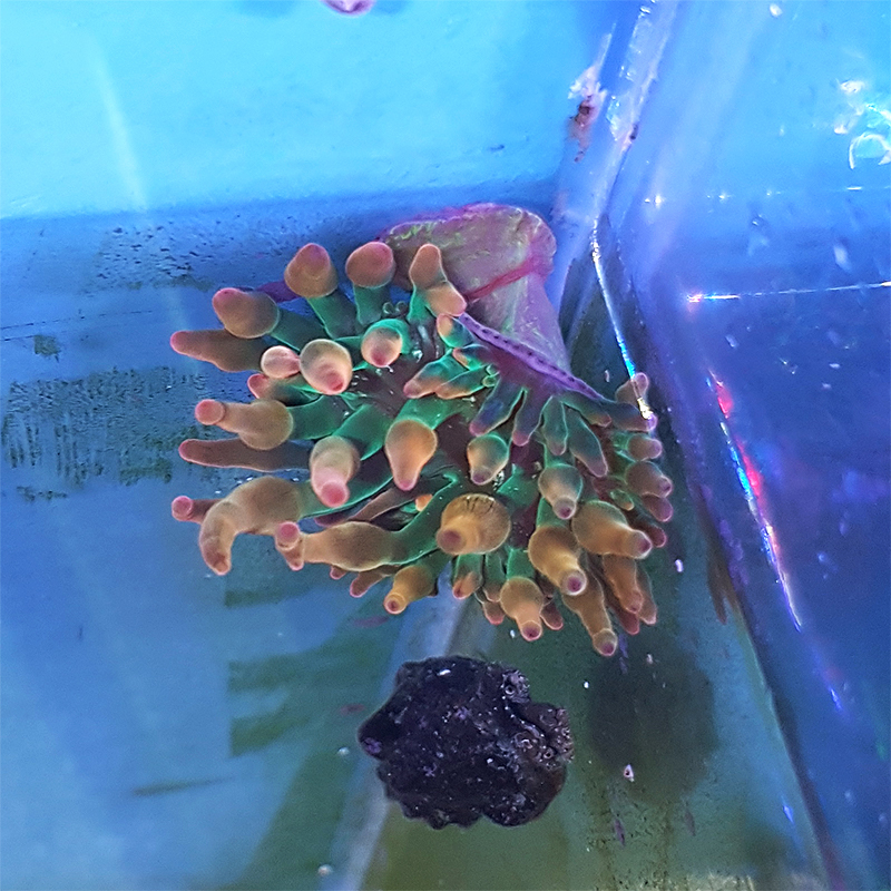 "Entacmaea quadricolor ""Bubble-tip anemone"" small WYSIWYG"