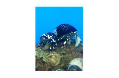 """Calcinus laevimanus """"Dwarf Zebra Hermit Crab"""""""