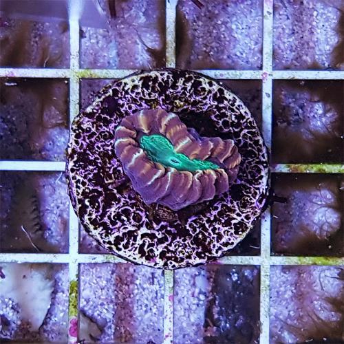 """Caulastrea furcata """"Candy Cane Coral"""" WYSIWYG"""