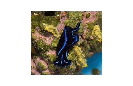 """Chelidonura varians """"Blue Velvet Nudibranch"""" äter plattmaskar"""