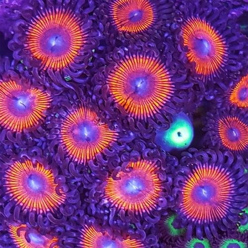 Chili Peppers Zoa