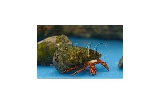 "Ciliopagurus strigatus ""Halloween Hermit Crab"""