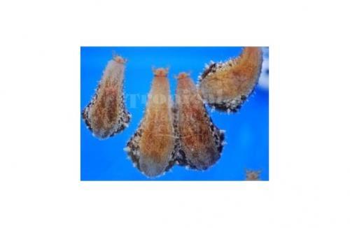 "Dolabella auricularia ""Wedge Sea Hare"""