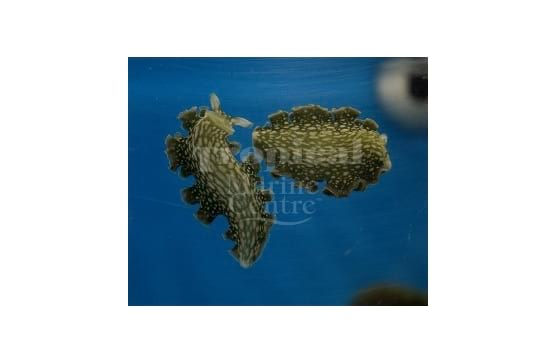 """Elysia crispata """" Lettuce Sea Slug"""""""