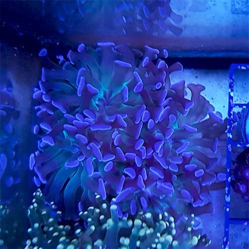 "Euphyllia paraancora ""Purple"" WYSIWYG"