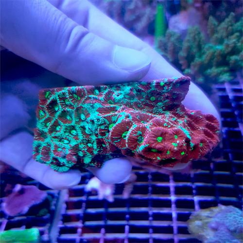 "Favites pentagona ""Red & Green War Coral"" WYSIWYG"