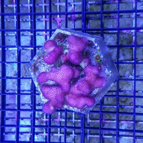 Stylophora pistillata WYSIWYG