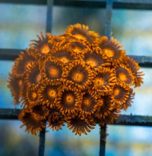 """Zoanthus """"Orange Bam Bam"""" WYSIWYG"""