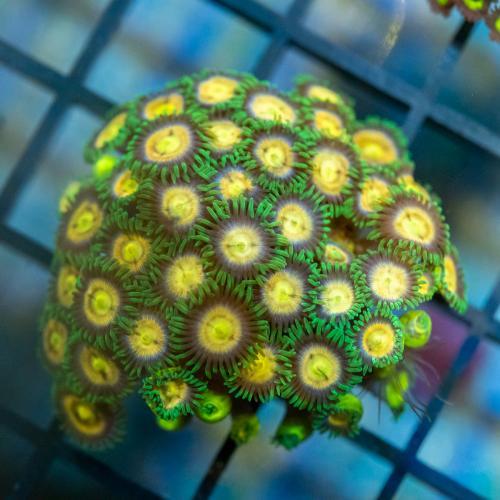 "Zoanthus ""Laser Lemon"" WYSIWYG"