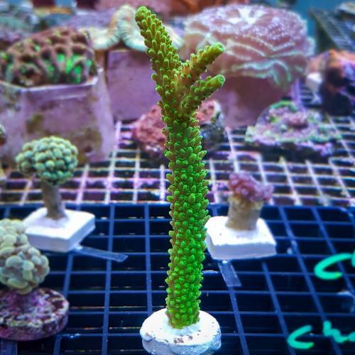 """Acropora sp. """"Neon green"""" WYSIWYG"""