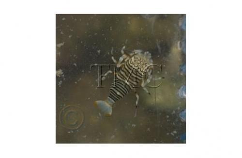 "Gnathaphyllum americanum ""Bumble Bee Shrimp"""