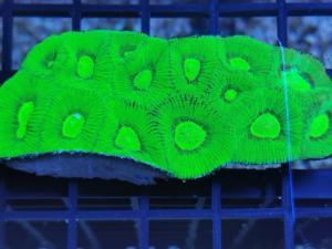 WYSIWYG Goniastrea Neon Green