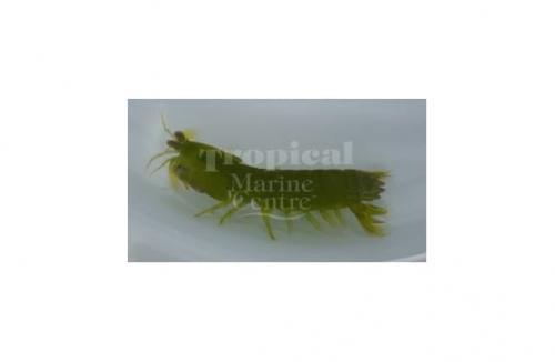 "Gonodactylus/Gonodactylaceus sp. ""Green Mantis Shrimp"""
