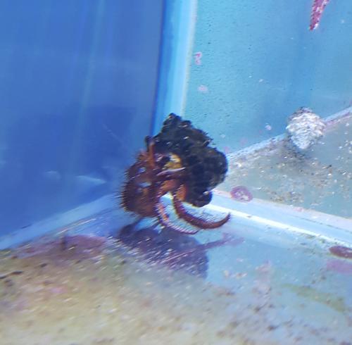 """Dardanus megistos """"Red Hairy Hermit Crab"""""""