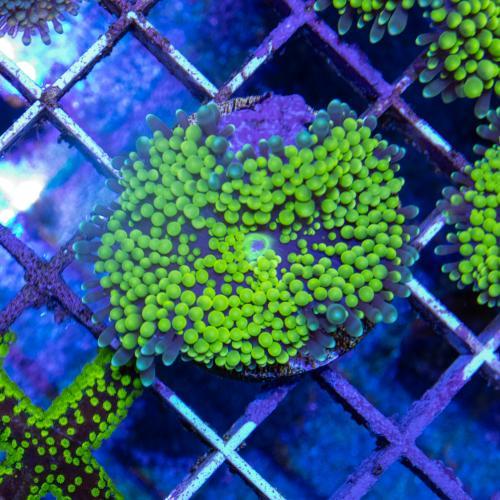 Ricordea florida green WYSIWYG