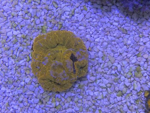 WYSIWYG acanthastrea bowerbanki röd/orange