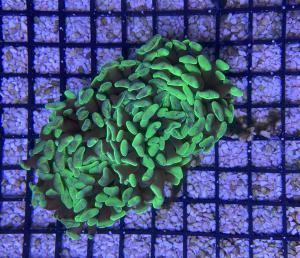 Euphyllia toxic green