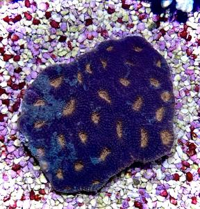 WYSIWYG acanthastrea echinata