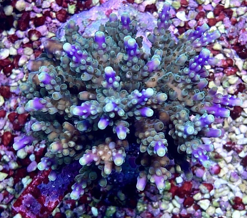 WYSIWYG Acropora sp.  Bali blå/lila toppar