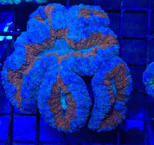 Lobophyllia Ultra red blue
