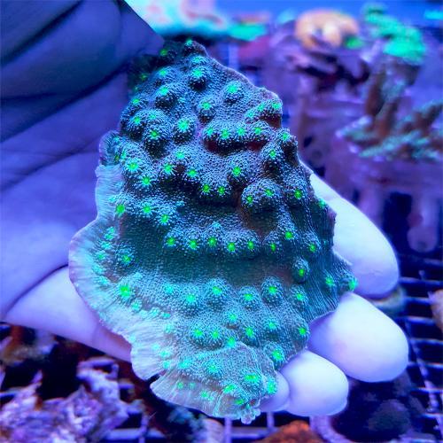 Echinopora lamellosa WYSIWYG