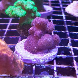 """Stylopora sp. """"Purple"""" WYSIWYG"""