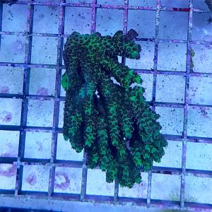 "Acropora tenius ""green"" WYSIWYG"