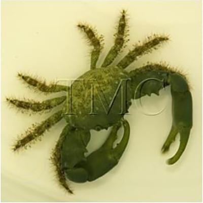 """Mithraculus sculptus """"Emerald Crab"""""""