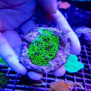 """Montipora sp.""""Neon green"""" WYSIWYG"""