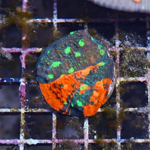 "Echinophyllia sp. ""Multicolor Chalice"" WYSIWYG"